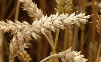 O preosievaní pšenice